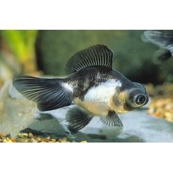 Аквариумная рыбка Телескоп...
