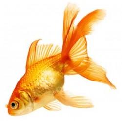 Аквариумная рыбка Золотая